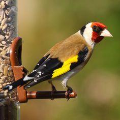 Tengelic - Végre lehet szavazni, hogy melyik faj legyen 2017-ben az év madara Magyarországon - 444