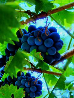 Concord grape season.  It doesn't last long enough.