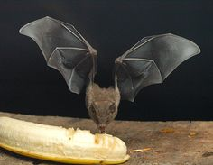 http://www.goldridge08.com/anking/bats/fr3.jpg