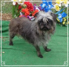 Meet PEACHES, a Petfinder adoptable Affenpinscher Dog | Marietta, GA | Peaches is a darling 10 year old, 14 pound baby girl. She loves to be held and gives great kisses....