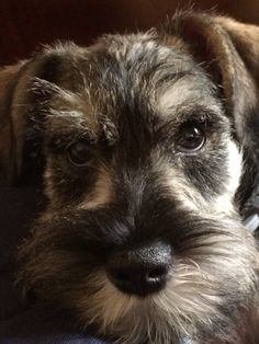 I Love Dogs, Puppy Love, Cute Dogs, Awesome Dogs, Mini Schnauzer, Miniature Schnauzer, Animals And Pets, Cute Animals, German Shep