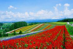 Beauty flower fields of Hokkaido in summer stock photo