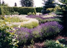 The English Lavender hedges are in full bloom at the end of June. As one walks along the curving paths in the test gardens at Barn Owl Nursery one can enjoy the scent of lavender and the sounds of busy bees. http://barnowlnursery.com/garden-tour/
