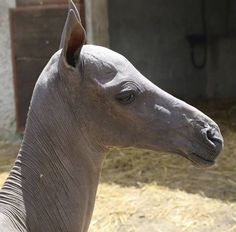 tracerapotts: The Hairless Foal Syndrome