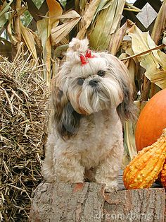 Photo about Portrait of a shih tzu in an autumn setting. Image of autumn, doggy, animal - 389785 Teddy Bear Puppies, Shitzu Puppies, Yorkie Puppy, Dogs And Puppies, Yorkies, Puppys, Perro Shih Tzu, Shih Tzu Hund, Shih Tzu Puppy