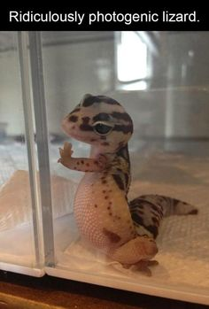 Photogenic gecko...