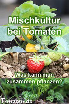 Culture mixte avec tomates - que pouvez-vous planter ensemble? - Tout comme il existe de bons voisins de plantation pour les tomates, il y en a aussi de mauvais. Growing Tomatoes, Growing Plants, Prune Fruit, Le Baobab, Hydrangea Seeds, Apricot Tree, Dried Plums, Palmiers, Food Staples