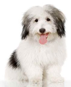 Breeds of small dogs : best small dog breeds: Coton de Tulear small dog breed