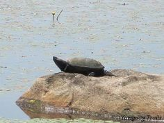 A snapping turtle (Chelydra serpentina) sunning itself at Thrush Cove on Wincheck Pond at #Yawgoog; on the Cove Trail.  A 2014 image by David R. Brierley.