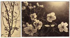 Sheoaks and windflowers.jpg