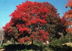 If we have room for ornamentals in the back yard, the Chinese pistache is one of my top choices. It will tolerate our hot sun and occasional freezes (down to 10 degrees!). UofA says it is a perfect tree for our climate. Some people call it the Ugly Duckling Tree because it starts as a scraggly little thing and has only a moderate growth rate but eventually grows into a great beauty.