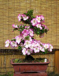 JPB:Bonsai Collection5