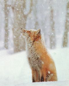 Haha, look at this fox! It's eyes are closed, engulfed in the cold yet calming serenity of snow. Once again, flippin' majestic.