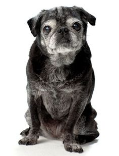 In praise of senior dogs. Awesome article about the benefits of adopting adult dogs and of senior citizens adopting senior dogs Pug Love, I Love Dogs, Animals And Pets, Cute Animals, Old Pug, Pug Puppies, Chihuahuas, Cute Pugs, Dog Photography