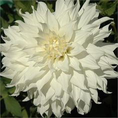 """SNOWBOUND (AID) Introduced in 1997. 9"""" blooms of pure white, cover the 4' bush all season. A very heavy bloomer for a dahlia this size. Flow..."""