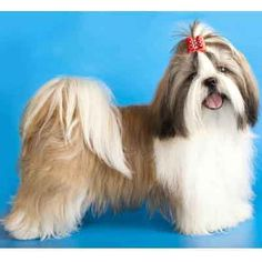Named for the way it helps your dog resemble an adorable stuffed animal, the teddy bear cut refers to creating a fluffy, rounded face shape for your Shih Tzu. It refers only to the shape of the face hair, so it can be paired with any length of puppy cut.