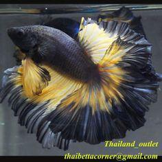Live Betta Fish Halfmoon Mustard Black from THAILAND Male M size Betta Tank, Fish Tank, Betta Fish Types, Cool Fish, Beta Fish, Live Fish, Beautiful Fish, Aquarium Fish, Marine Life
