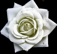 yorkshire rose    photography by Chris Ablard