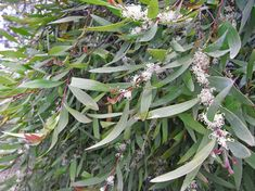 Willow Leafed Hakea, or Hakea salicifolia, is a large native shrub or small tree with attractive willow like leaves and masses of white flowers from winter to spring. Hello Hello Plants, Native Australians, Large Pots, New Growth, Small Trees, Garden Supplies, Hedges, Garden Beds, Potted Plants