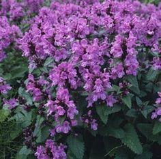Pase Seeds - Stachys Grandiflora Perennial Seeds, $9.99 (http://www.paseseeds.com/stachys-grandiflora-perennial-seeds/)