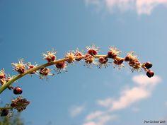 Marula       male flower