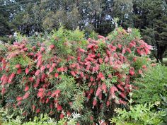 Callistemon bottle brush 'Kings Park Special' - tip prune after flowering to maintain bushy growth Screen Plants, Kings Park, Types Of Soil, Small Trees, Red Flowers, Garden Design, Landscape, Bottlebrush, Nature