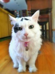 Moo - Domestic Short Hair-white
