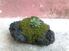 Suculenta, musgo y roca volcánica