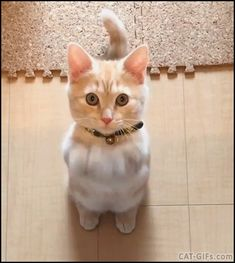 KITTEN GIF • Adorable Kitten standing on his hind legs rubbing front paws together, begging for food