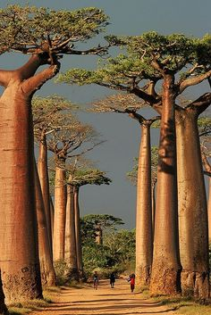 Tall trees in Madagascar create a stunning pathway--