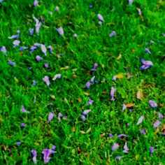 Walking the dogs and saw these beautiful petals on the grass!