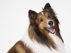 Beautiful.   Good Sheltie Breed Info. Cody gives me this look some times...The Sheltie side of him just can't help but show up!