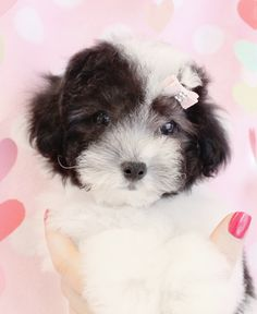 Toy Teacup Puppies For Sale Poodle Puppies For Sale, Toy Puppies, Poodle Mix, Cute Puppies, Cute Dogs, Toy Dogs, My Little Baby, Little Dogs, Fluffy Animals