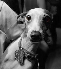 soulful Italian greyhound