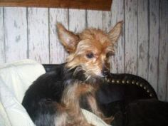 Cici sweet girl is an adoptable Yorkshire Terrier Yorkie Dog in Evansville, IN. Detail on each dog is indicated below.  Adoption fees help cover all vetting for our adoptables and to help care for the...