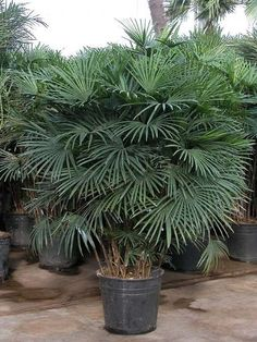 Palm Trees, Nursery, Plants, Ideas, Tropical Plants, Planting Flowers, Lawn And Garden, Palm Plants, Baby Room