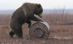 Photographic Print: Young Female Kamchatka Brown Bear (Ursus Arctos Beringianus) Playing with Oil Drum by Igor Shpilenok : Wojtek Bear, Funny Bears, Oil Drum, Getting Him Back, Love Bear, Young Female, Bear Art, Black Choker, Nature