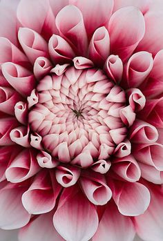 Close up of the centre of the pink flower of dahlia tiptoe  - look at the work of Georgia O'Keeffe