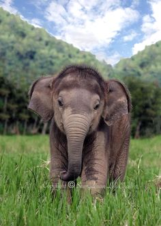 Baby Indian elephant enjoying a beautiful day. Look at that sweet face and those bristly hairs!