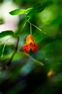 How to Make Jewelweed Salve - Shafer Springs Farm. Add plantain too