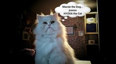 Hyoga the Cat #funny #cute #lol
