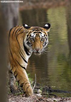~~Eye to eye ~ Royal Bengal Tiger Cub by Rupam Chatterjee~~