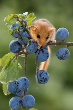 Mouse and Blueberries Woodland Creatures, Cute Creatures, Beautiful Creatures, Nature Animals, Animals And Pets, Funny Animals, Beautiful Birds, Animals Beautiful, Animal Original