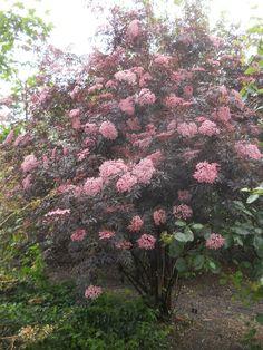 black lace elderberry | of the elderberry sambucus nigra black lace has blossomed ...