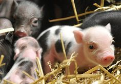 Baby piglets are probably one of the animals that are only cute when they're young. I don't think anyone thinks a grown fat pig is cute? Teacup Piglets, Baby Piglets, Cute Baby Animals, Animals And Pets, Farm Animals, Pig Pics, Miniature Pigs, Mini Pigs, Cute Piggies
