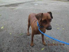 VIOLET (A1664495) I am a female brown and white Miniature Pinscher. The shelter staff think I am about 4 years old. I was found as a stray and I may be available for adoption on 12/11/2014. — hier: Miami Dade County Animal Services. https://www.facebook.com/urgentdogsofmiami/photos/pb.191859757515102.-2207520000.1417827765./884258918275179/?type=3&theater