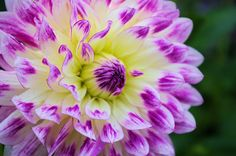 Dahlia Show at the NC Arboretum in Asheville NC this weekend! http://www.romanticasheville.com/arboretum_events.htm