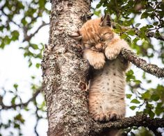 This cute lynx kitten seems to have nodded off while climbing a tree. Photographer Cecilie Sønsteby spotted the cute cat in the Langedrag Nature Park in Norway.