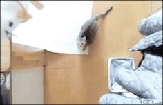 """This cat jumping up in the air to smack a rat: 