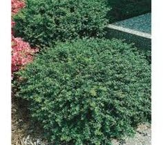 Soft Touch Dwarf Japanese Holly